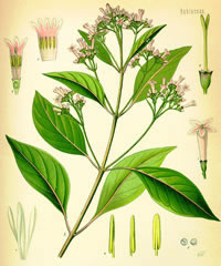 Cinchona Officinalis