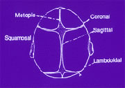 Skull Suture Diagram
